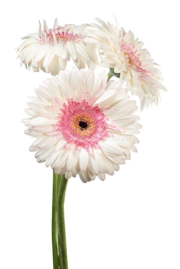 цветет белизна gerbera стоковая фотография rf