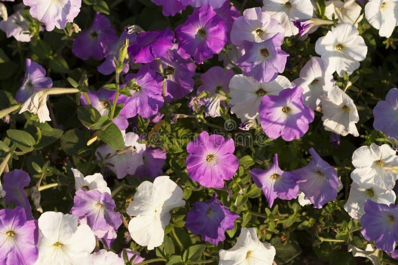 цветет белизна петуньи розовая стоковые фотографии rf