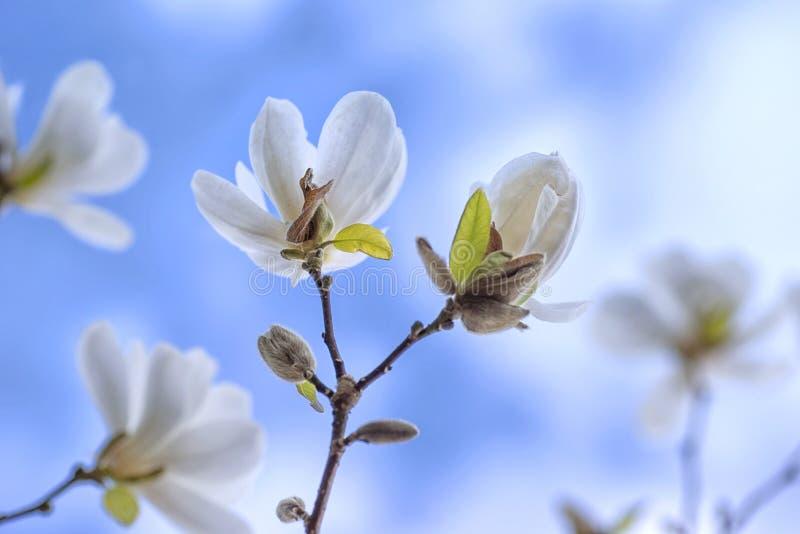 цветет белизна magnolia стоковые фото