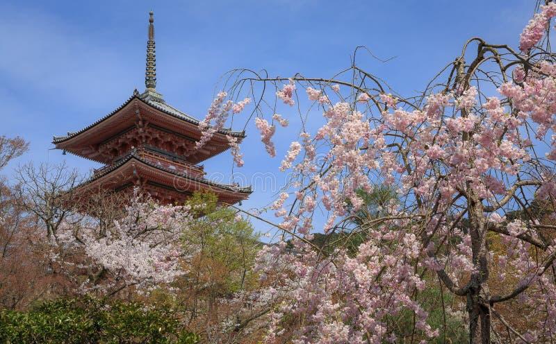 Цветет весна Сакуры стоковое изображение rf
