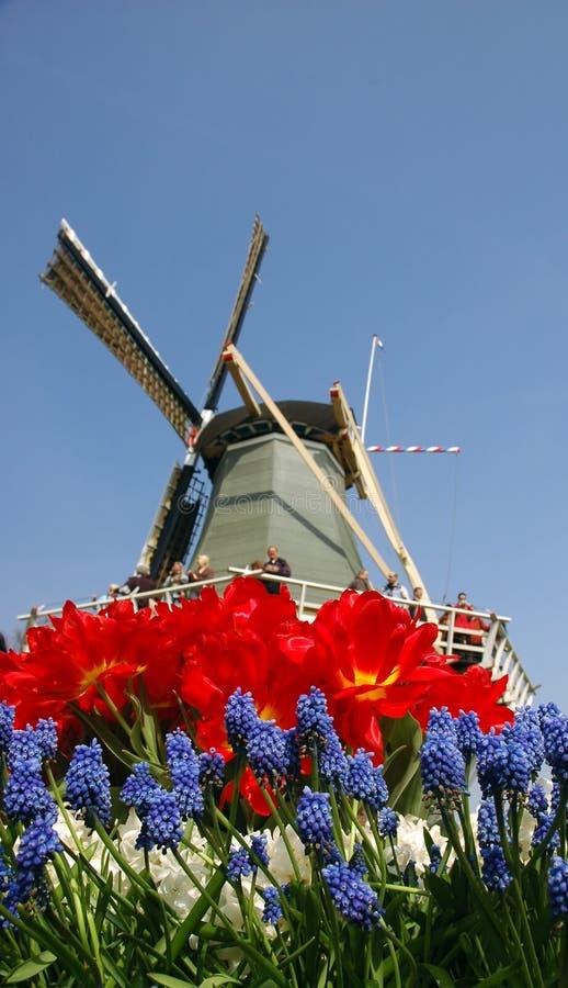 цветет ветрянка стоковое изображение rf
