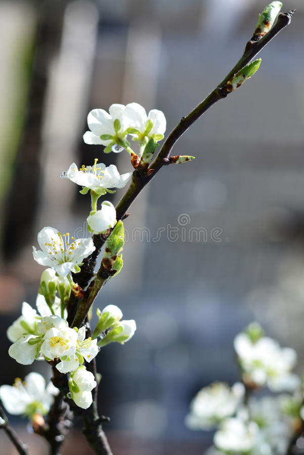цветет груша стоковые фото