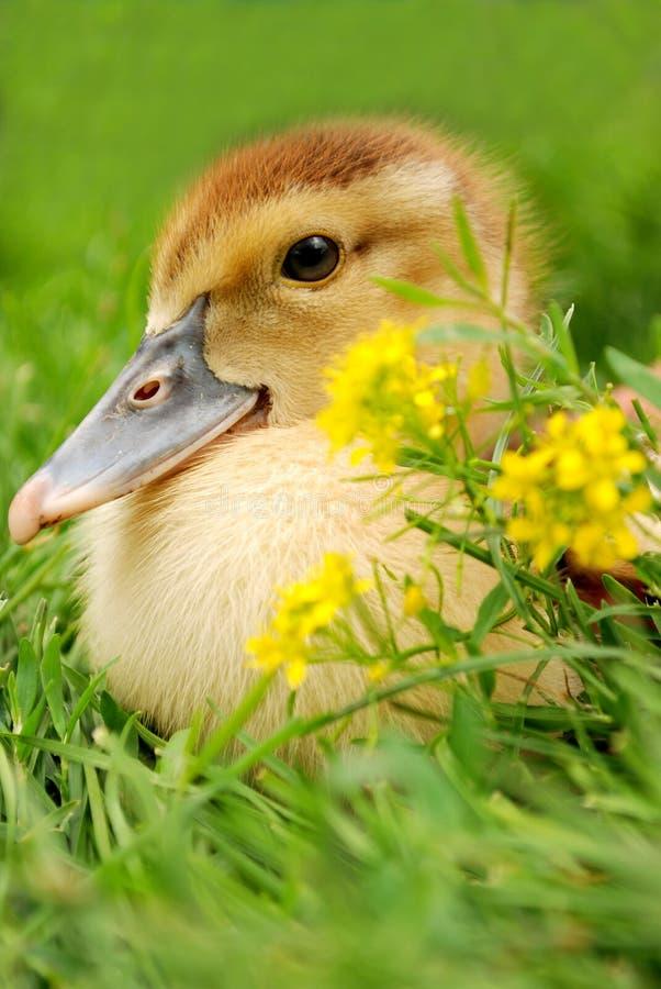 цветет гусенок ближайше стоковое фото