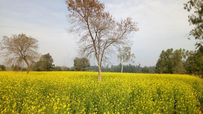 цветет долина napa мустарда стоковое изображение rf