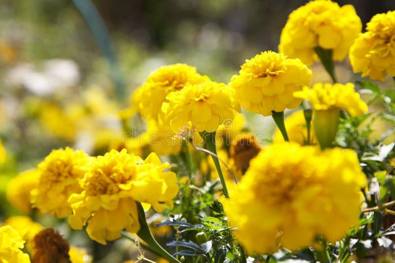 цветет желтый цвет ноготк стоковое изображение rf