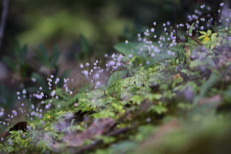 цветет лиловое одичалое стоковая фотография