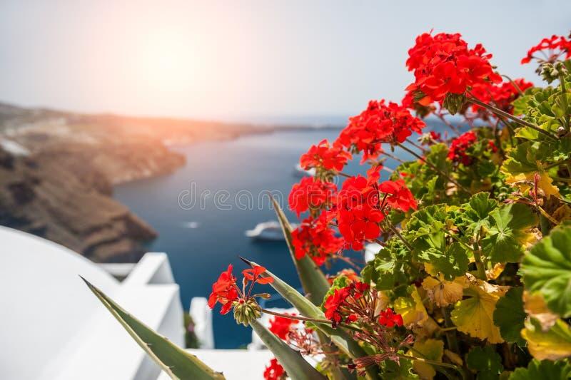 цветет красный цвет гераниума santorini острова холма Греции зданий стоковые фотографии rf