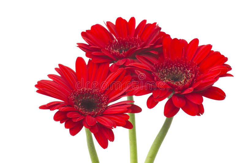 цветет красный цвет gerbera стоковые изображения
