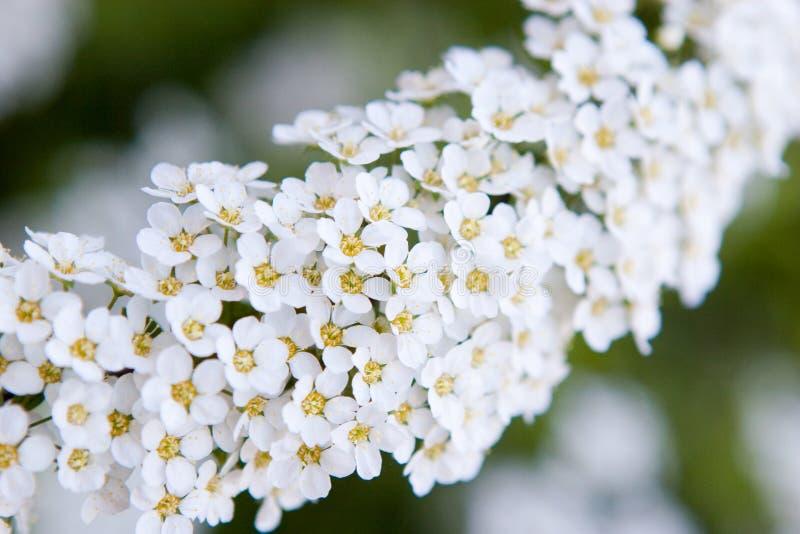 цветет малая белизна стоковые фото