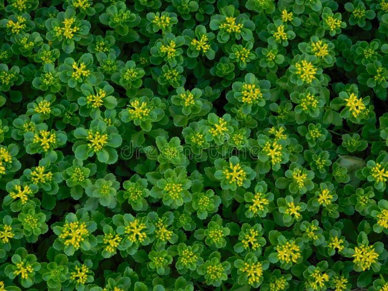 цветет малюсенький желтый цвет стоковые фотографии rf
