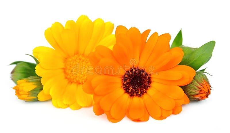 цветет ноготк стоковые фотографии rf