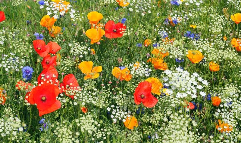 цветет одичалое Белый, красный цвет и желтый цвет стоковое фото rf