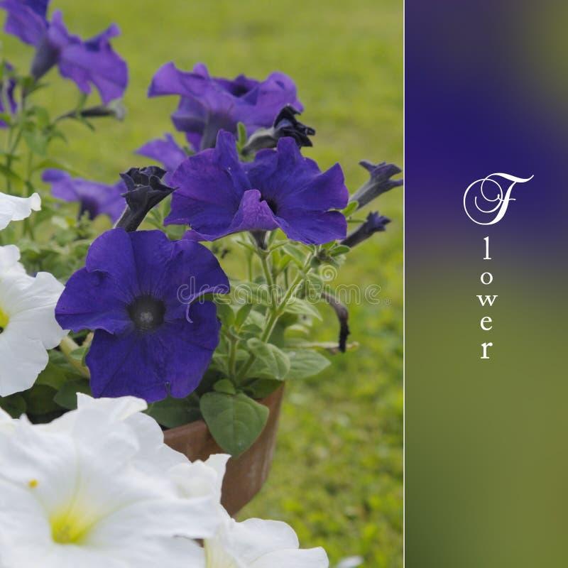 Цветет петунья на саде стоковое фото rf