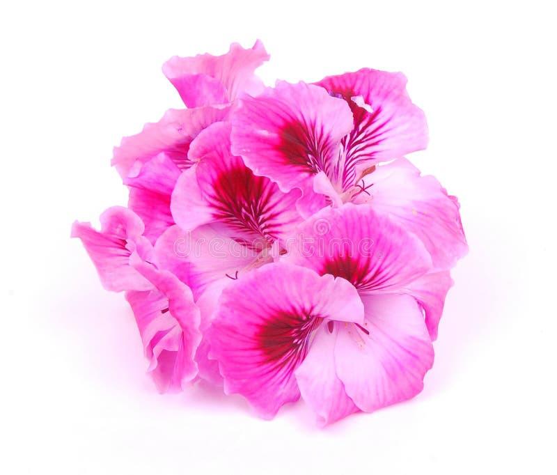 цветет пинк гераниума стоковые фотографии rf