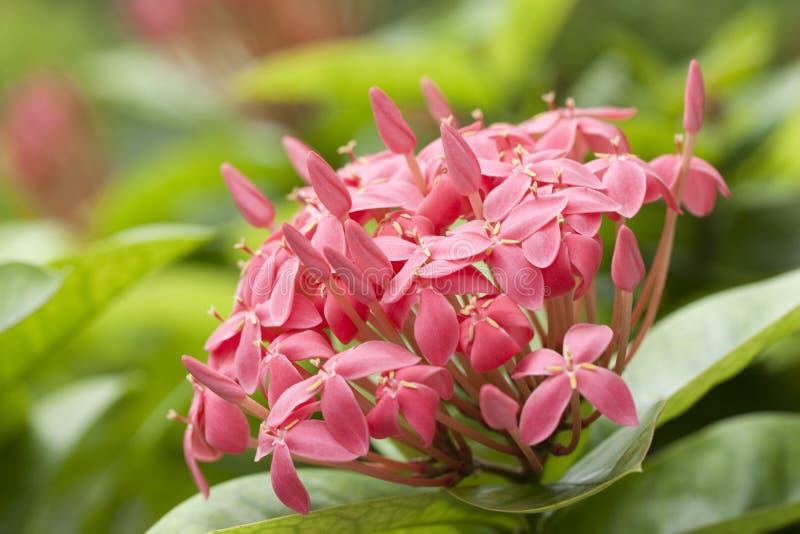цветет пинк ixora стоковое изображение rf