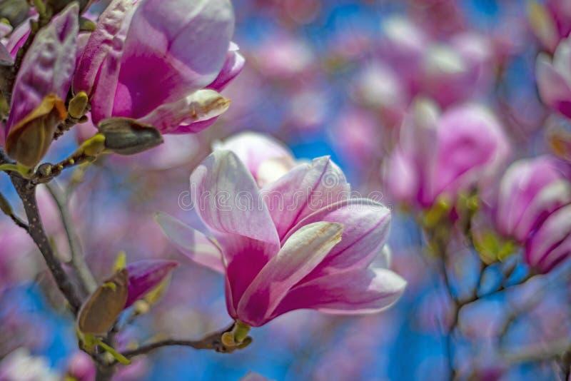 цветет пинк magnolia стоковое изображение rf
