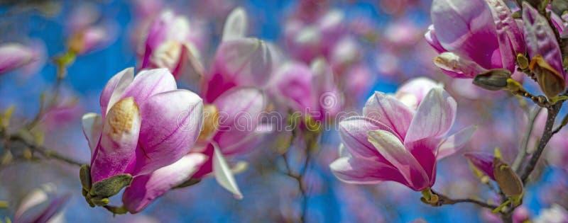 цветет пинк magnolia стоковые изображения rf