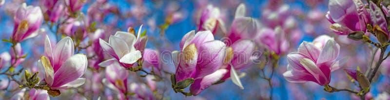 цветет пинк magnolia стоковая фотография rf