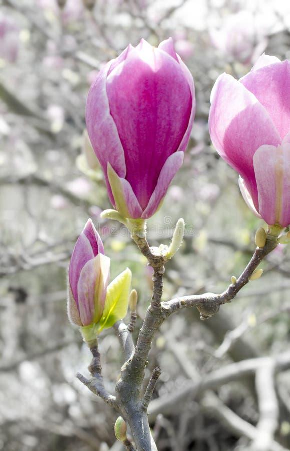 цветет пинк magnolia стоковые фотографии rf