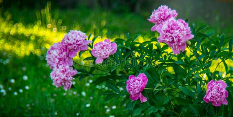 цветет пинк peony стоковое изображение rf