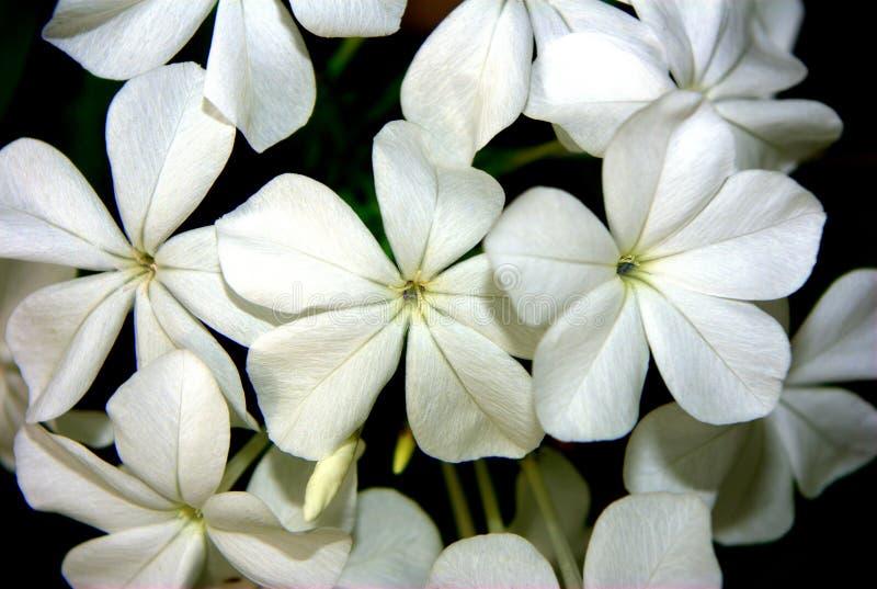 цветет плумбаго макроса стоковое изображение rf