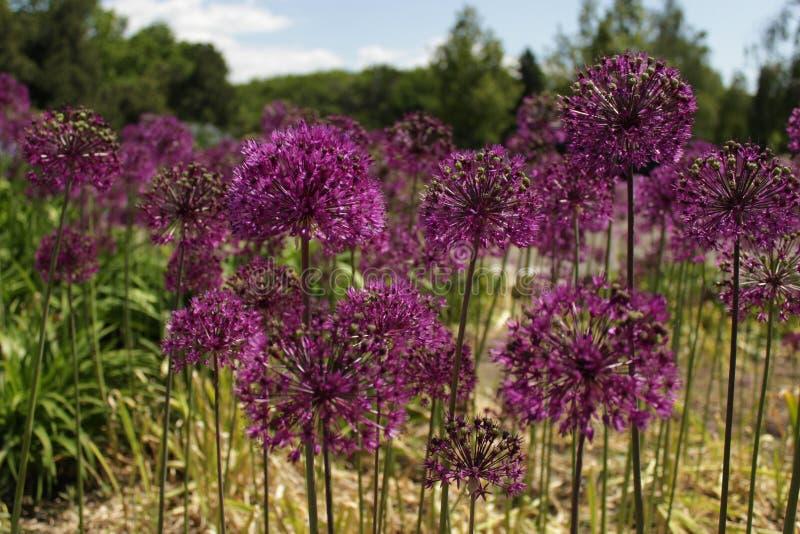 цветет пурпур стоковое изображение