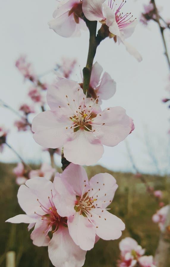 Цветет роза пинка bloomig природы красивая стоковое фото