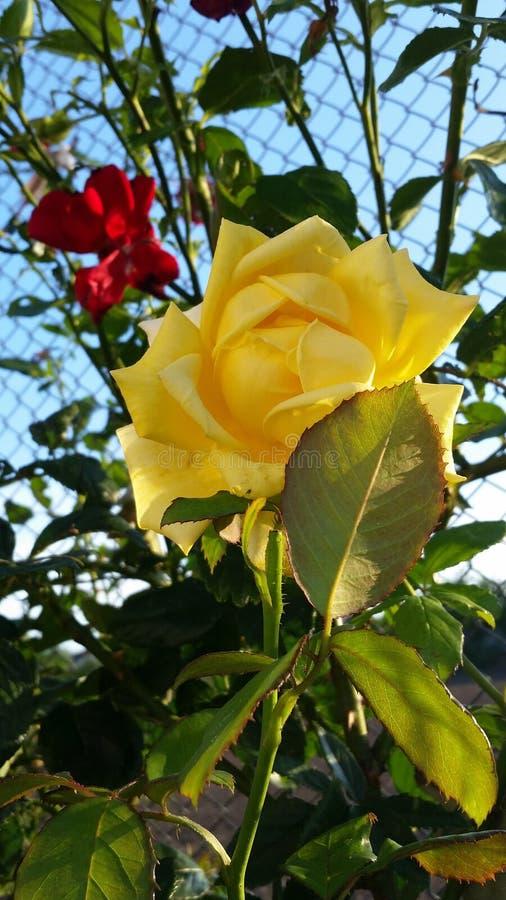 цветет розы стоковые изображения