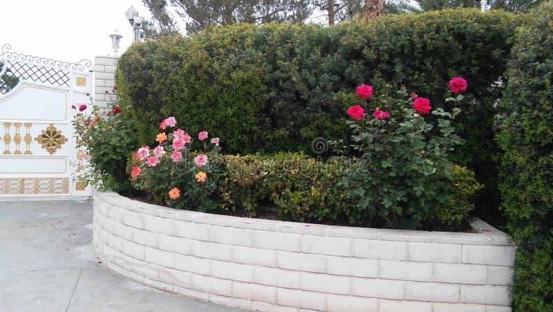 цветет розы стоковое изображение rf