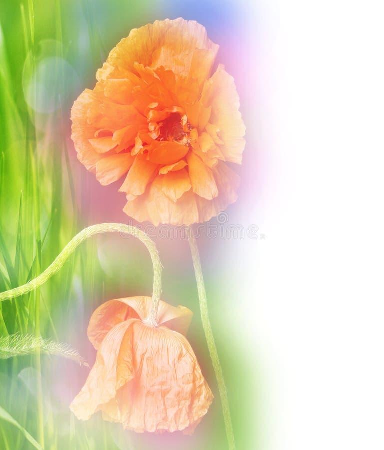 цветет сбор винограда мака романтичный стоковые фотографии rf
