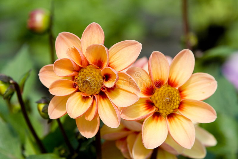 цветет свежая стоковые фотографии rf