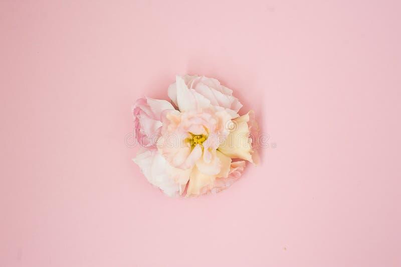 Цветет состав Цветки розы пинка на предпосылке пастельного пинка Плоское положение, взгляд сверху, космос экземпляра стоковые фото