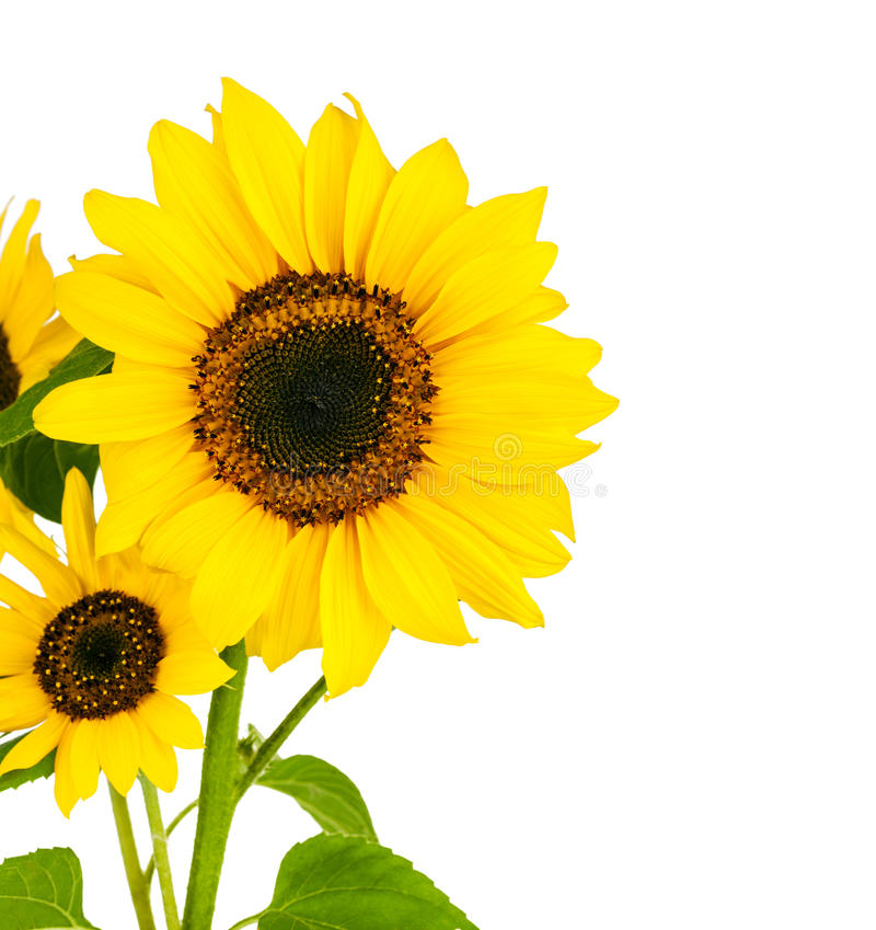 Цветет солнцецвет с зелеными лист стоковые изображения rf