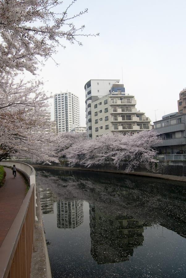 цветет токио sakura стоковая фотография rf