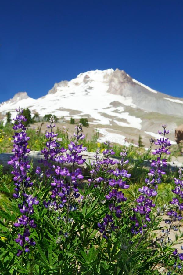 цветет фиолет горы lupine стоковые изображения rf