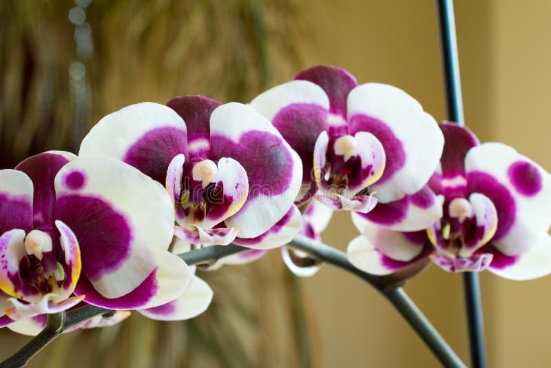 цветет фиолет орхидеи стоковое фото rf