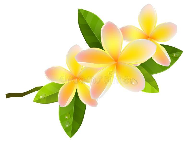 цветет frangiapani иллюстрация вектора