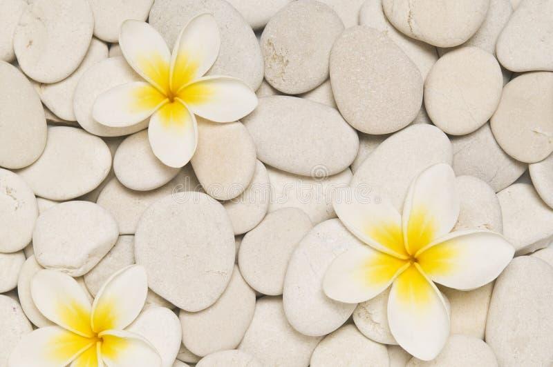 цветет frangipani 3 стоковая фотография rf