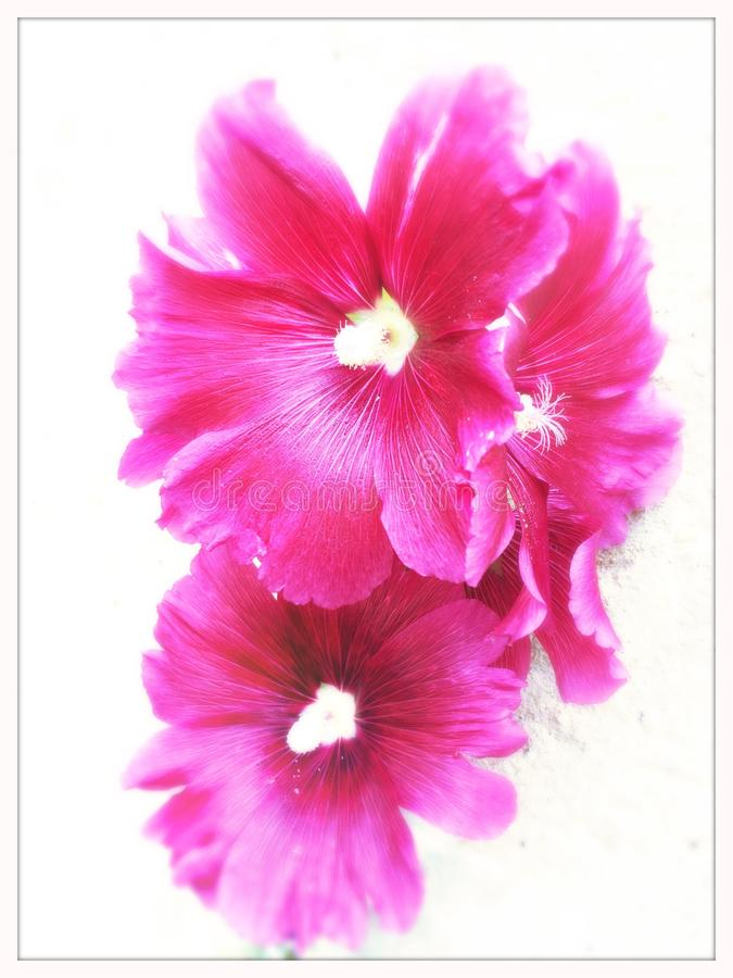 цветет fuschia стоковое фото rf