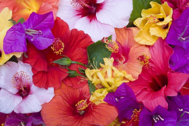 цветет hibiscus стоковая фотография rf