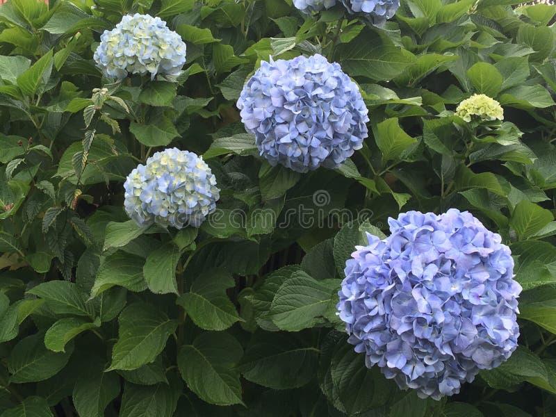 Цветет hortencias стоковые изображения