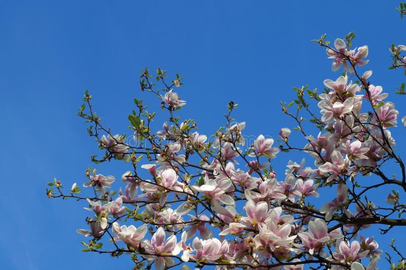 цветет magnolia стоковое изображение rf