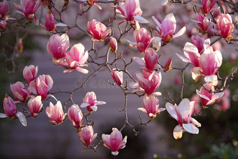 цветет magnolia стоковое фото rf