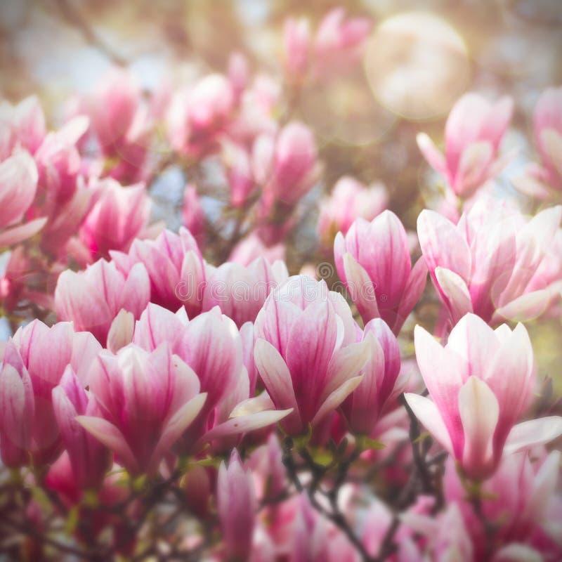 цветет magnolia стоковые изображения