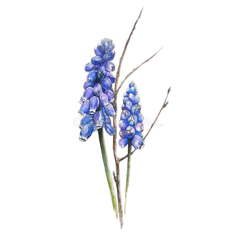 цветет muscari стоковые изображения