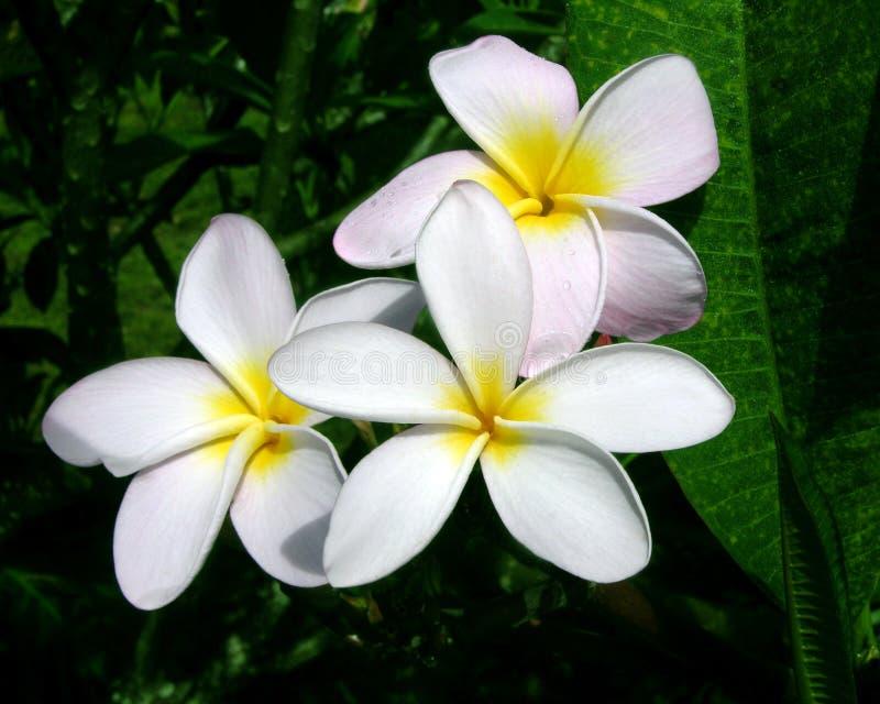 цветет plumeria стоковое фото rf