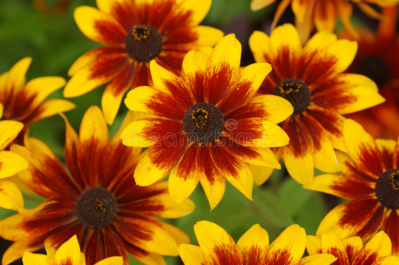 цветет rudbeckia стоковое изображение rf