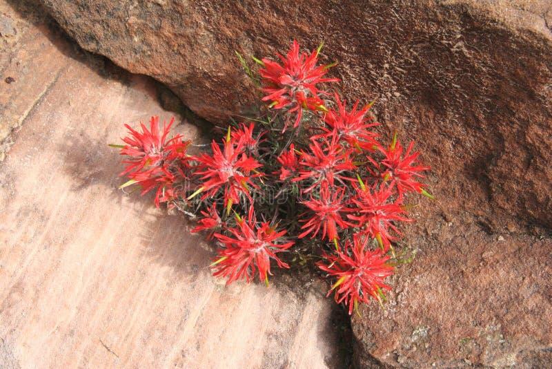 цветет slickrock paintbrush стоковые фото