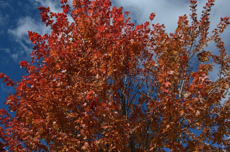 Цветистая листва клена осени стоковые изображения