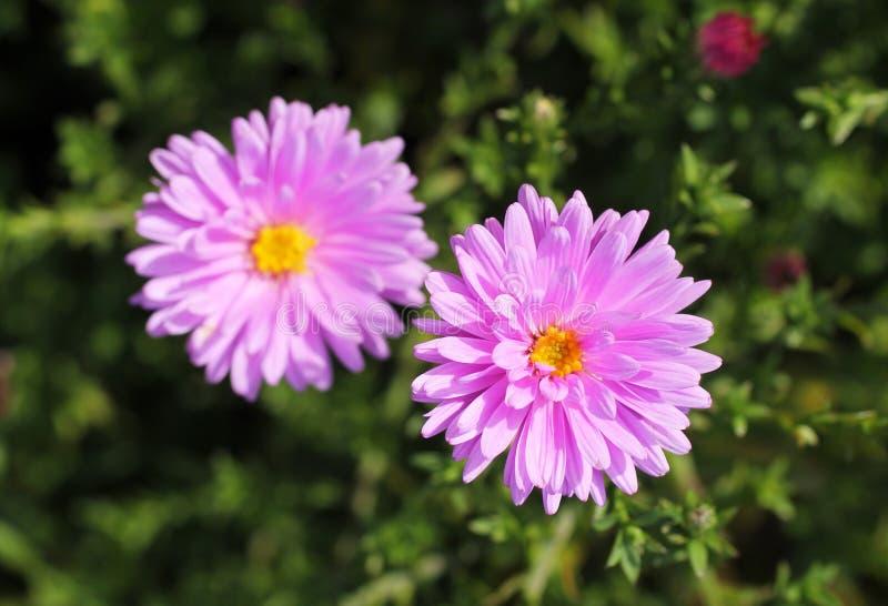 2 цветка астры стоковое изображение rf